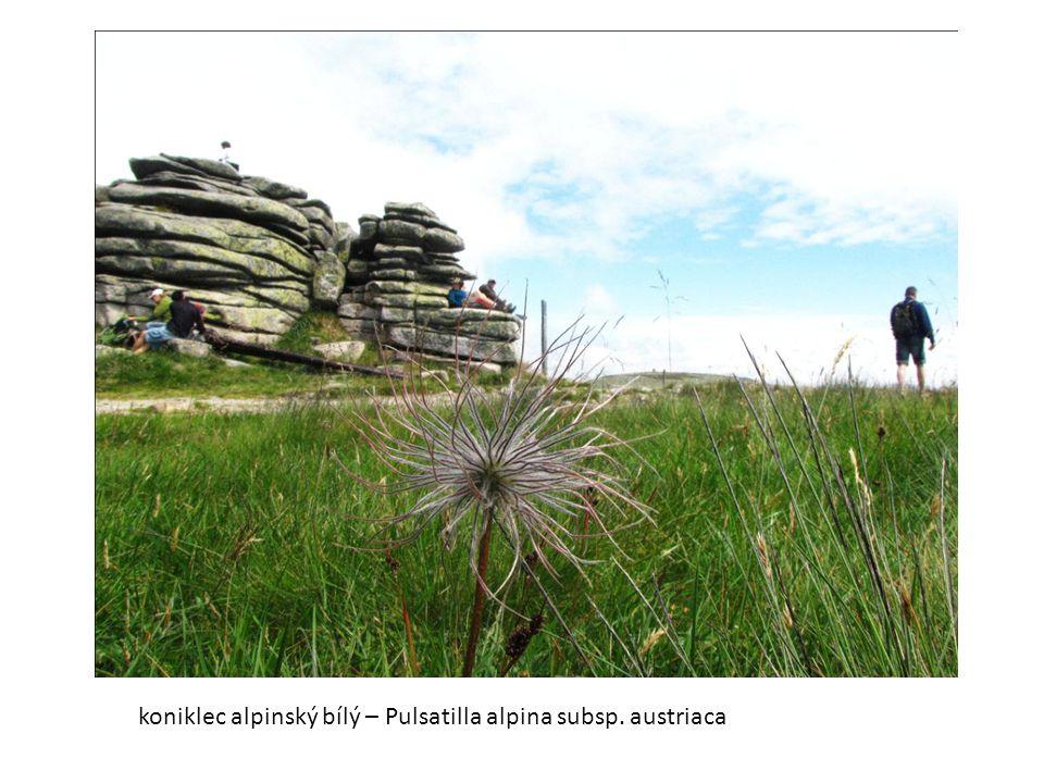 koniklec alpinský bílý – Pulsatilla alpina subsp. austriaca