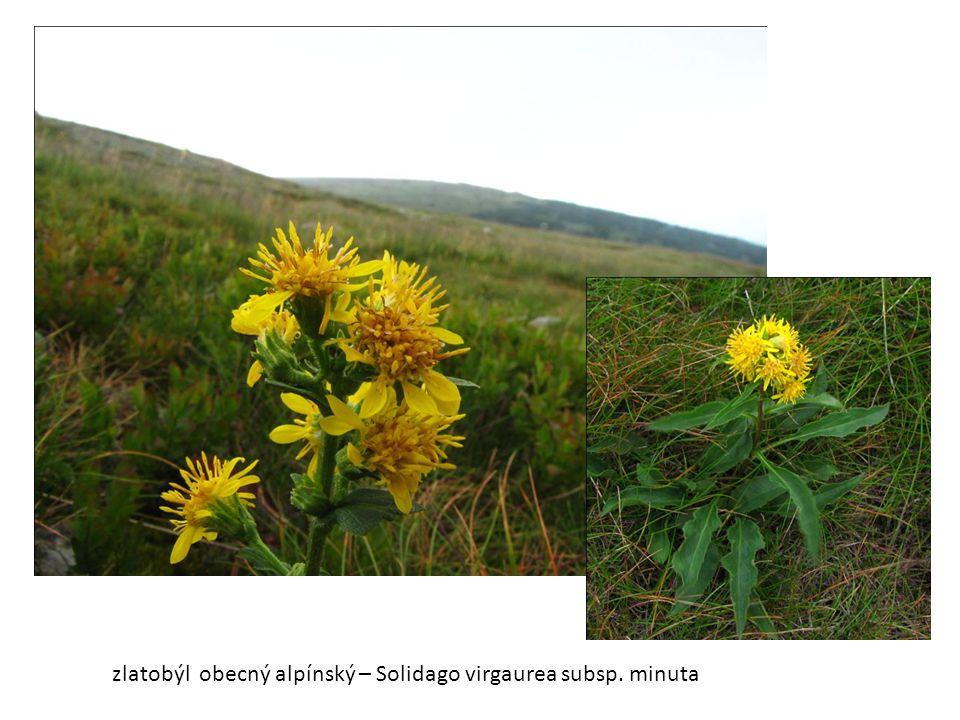 zlatobýl obecný alpínský – Solidago virgaurea subsp. minuta