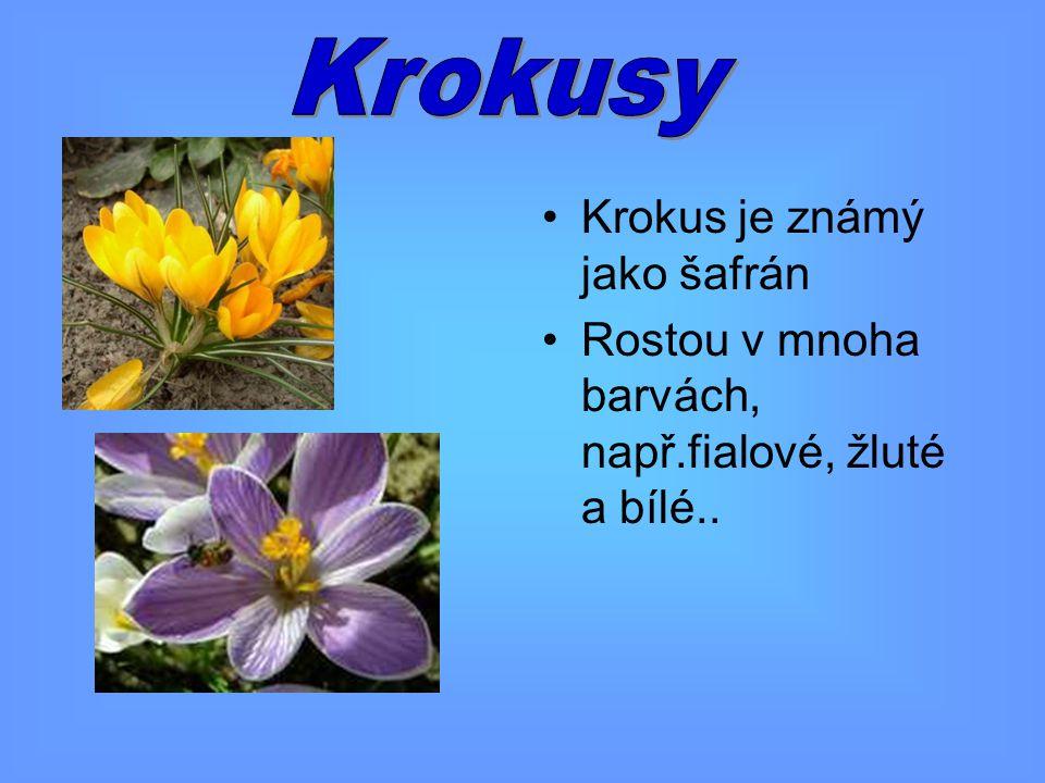 Krokusy Krokus je známý jako šafrán