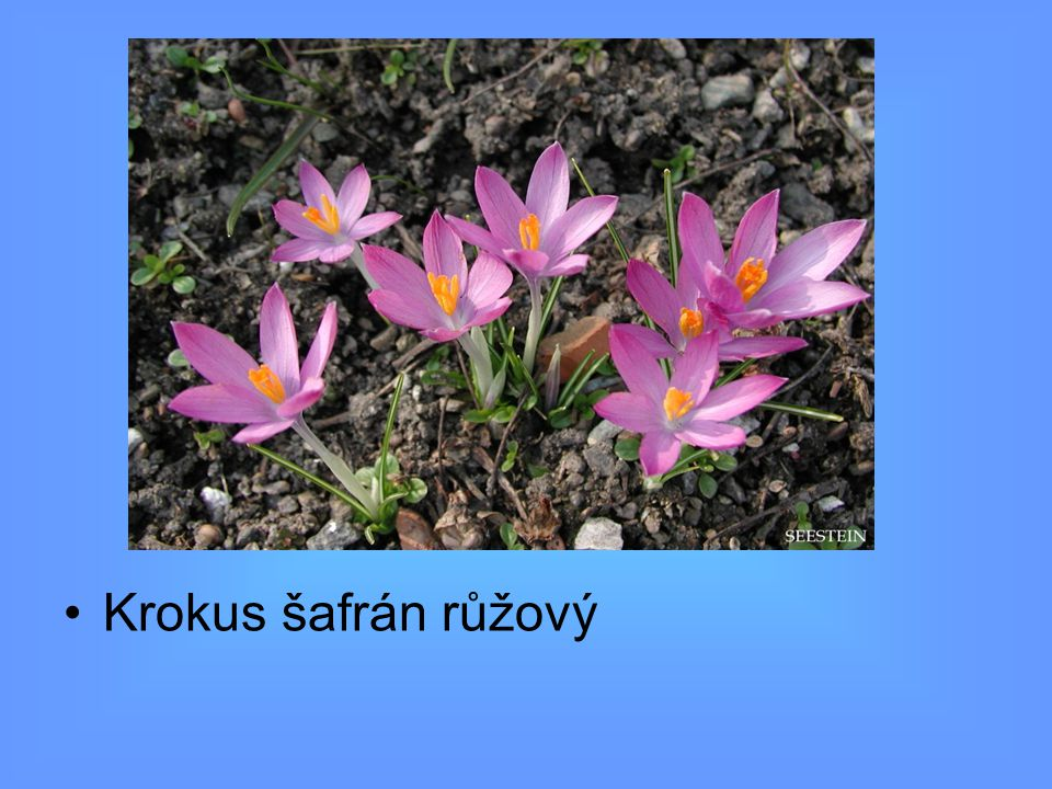 Krokus šafrán růžový