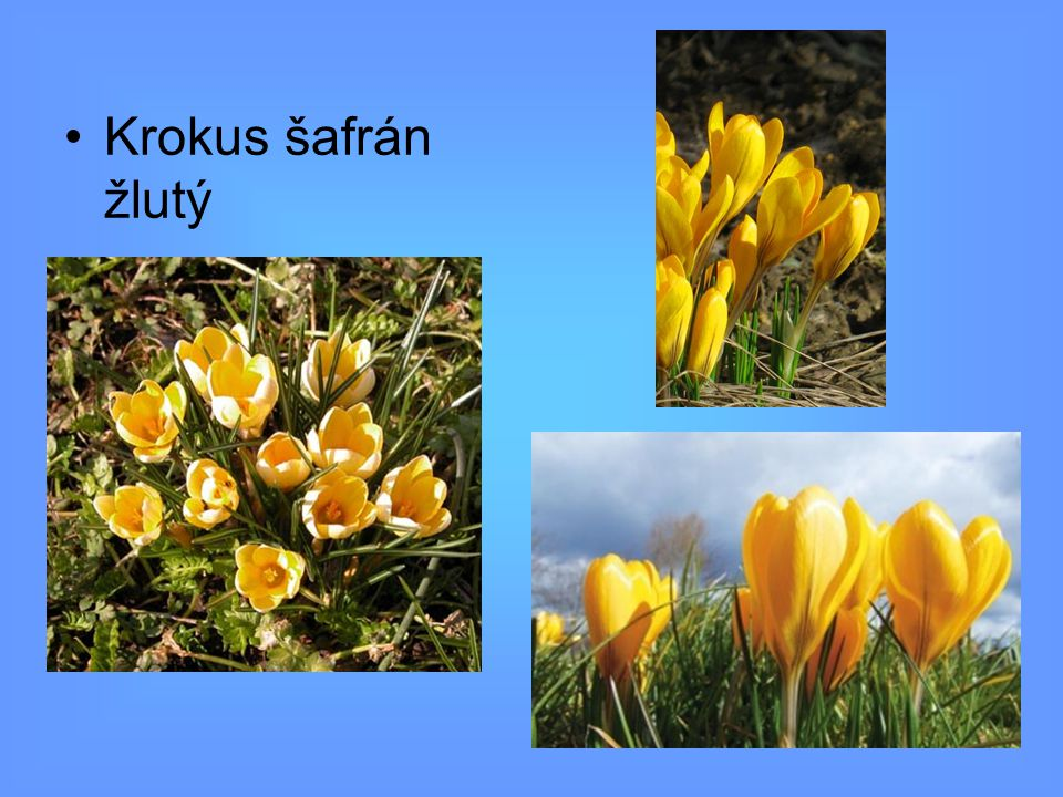 Krokus šafrán žlutý