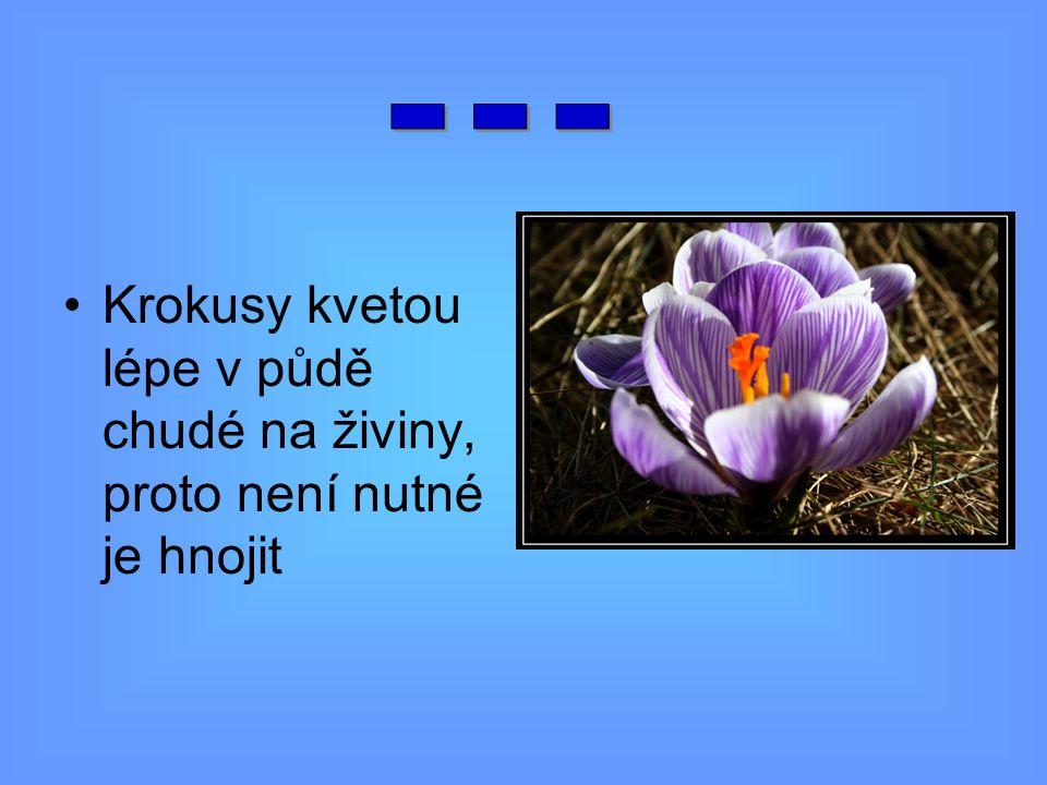 ... Krokusy kvetou lépe v půdě chudé na živiny, proto není nutné je hnojit
