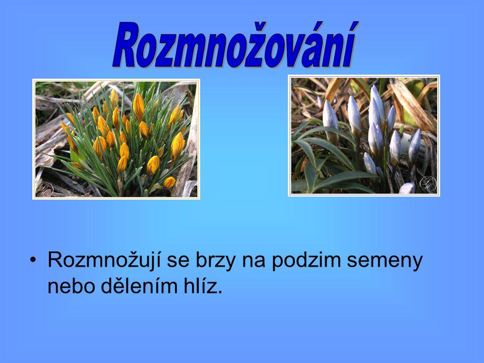 Rozmnožování Rozmnožují se brzy na podzim semeny nebo dělením hlíz.