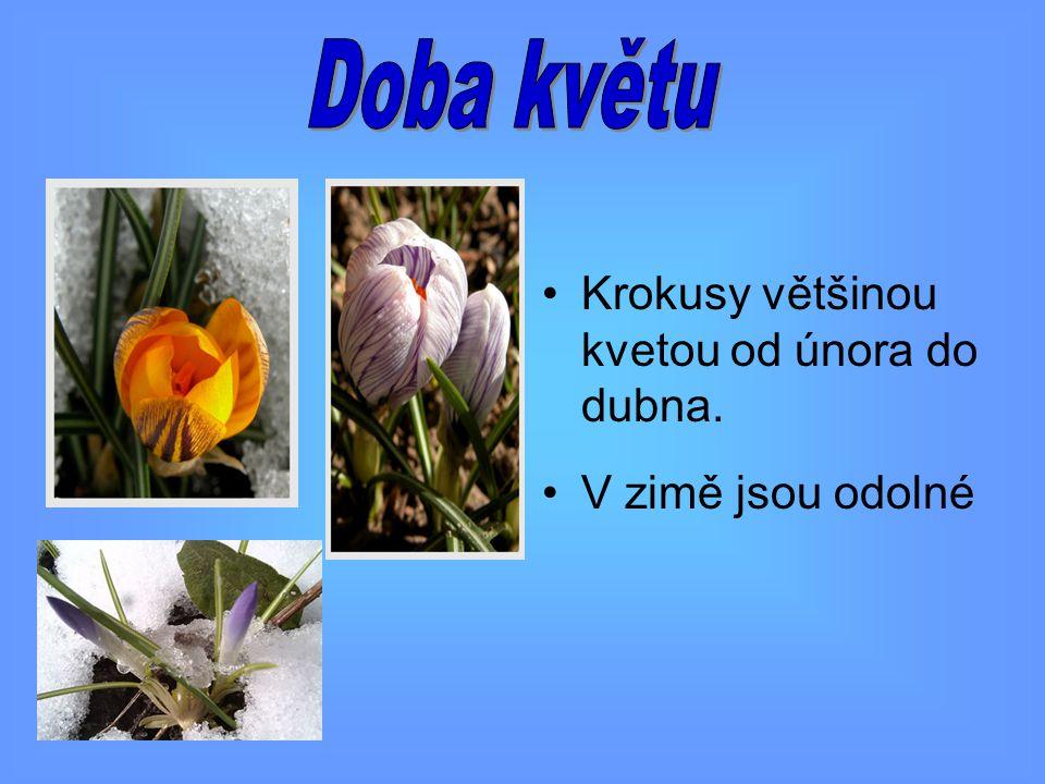 Doba květu Krokusy většinou kvetou od února do dubna.