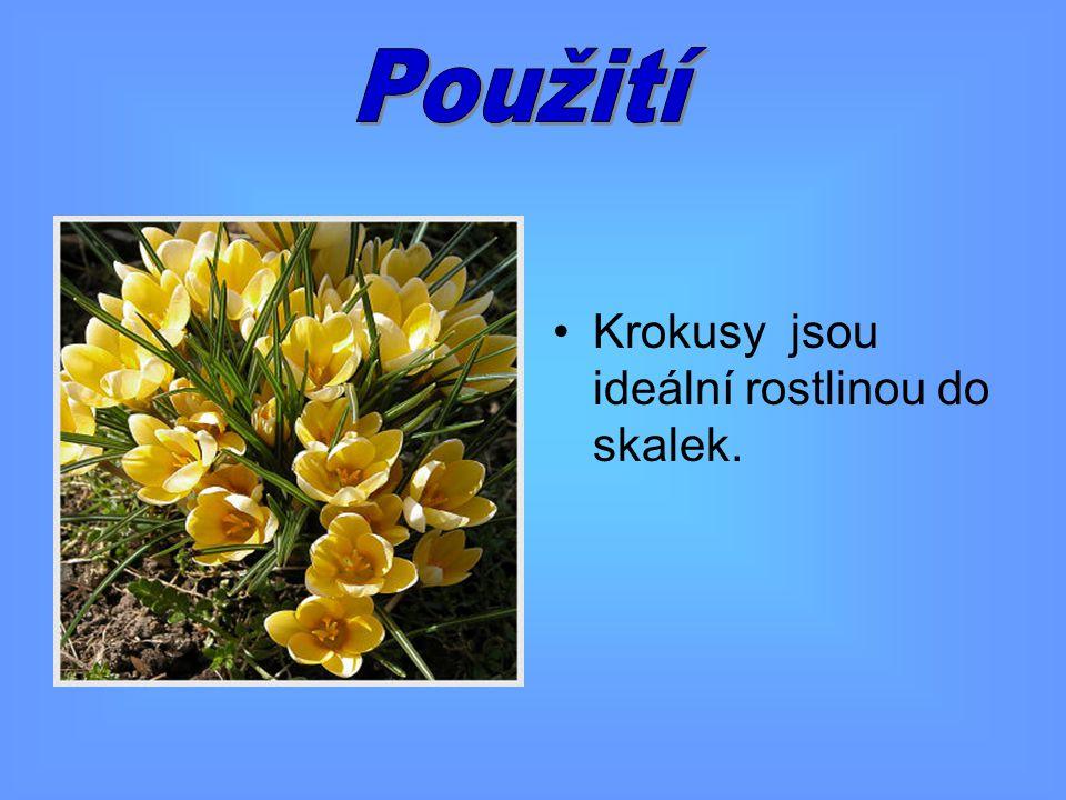 Použití Krokusy jsou ideální rostlinou do skalek.