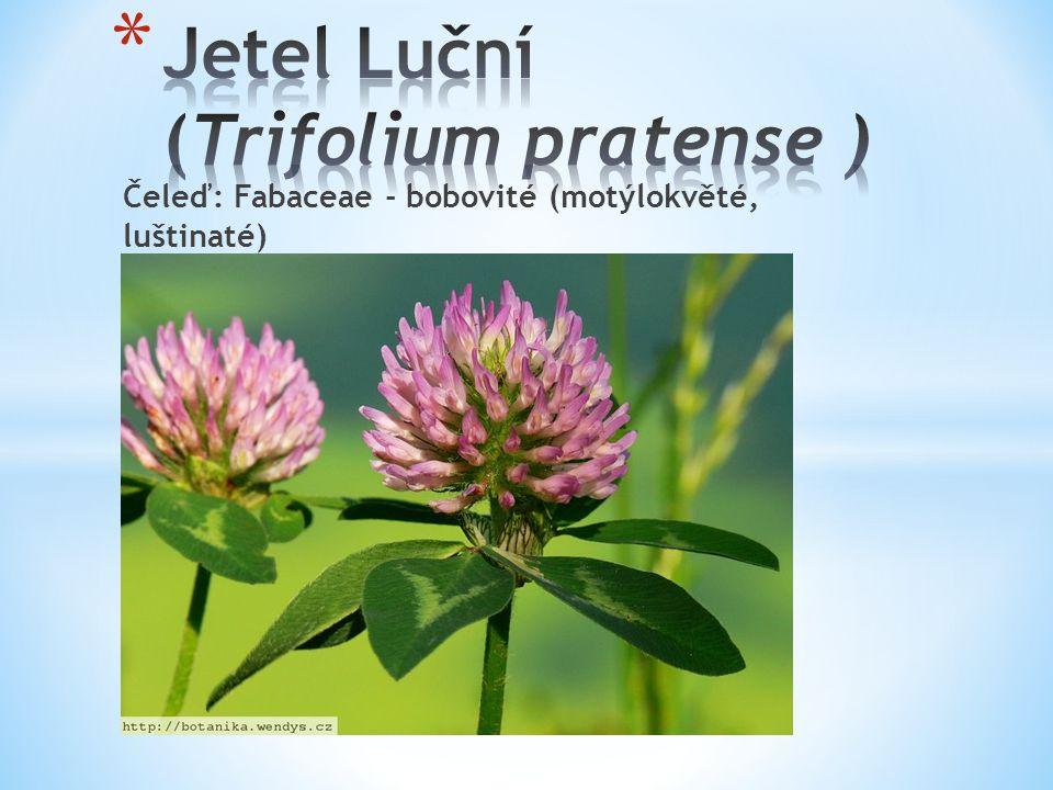 Jetel Luční (Trifolium pratense )