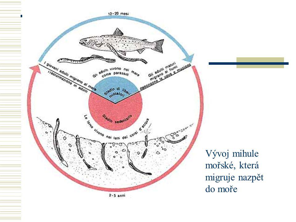 Vývoj mihule mořské, která migruje nazpět do moře