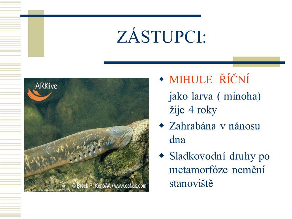 ZÁSTUPCI: MIHULE ŘÍČNÍ jako larva ( minoha) žije 4 roky