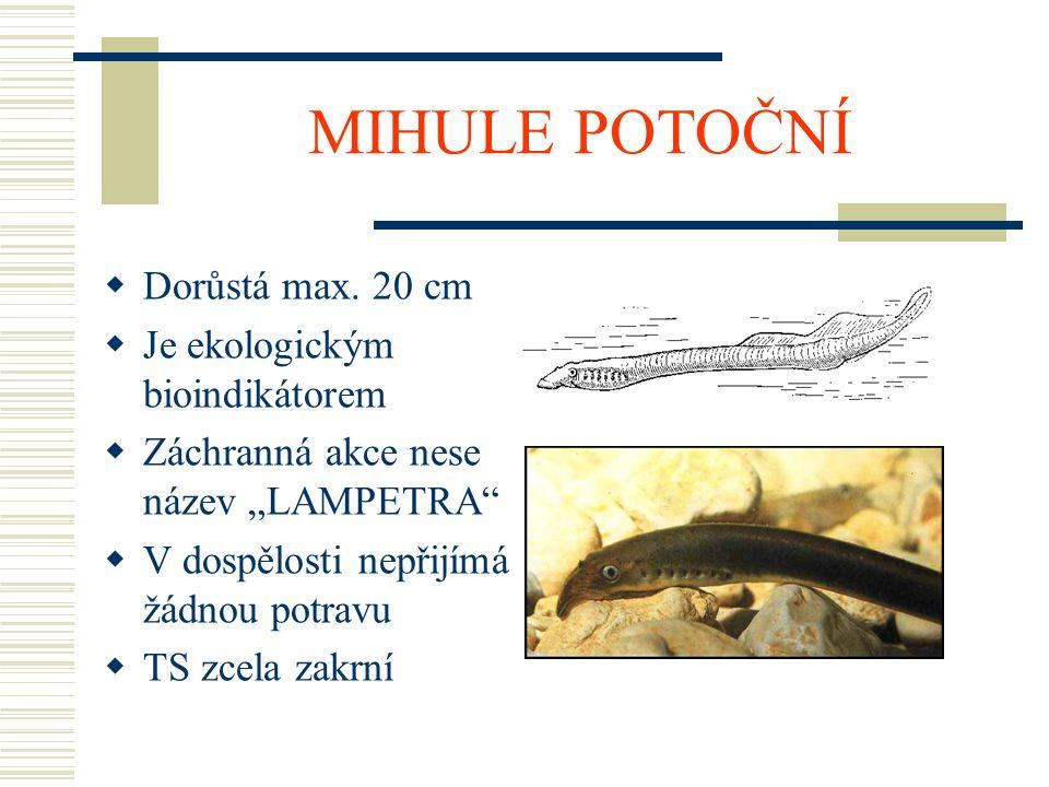 MIHULE POTOČNÍ Dorůstá max. 20 cm Je ekologickým bioindikátorem