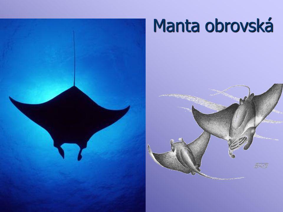 Manta obrovská Jedná se o největší druh rejnoků