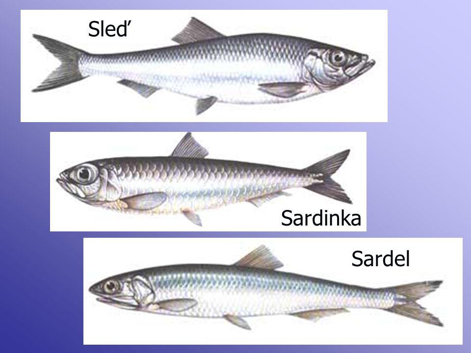 Sleď Sardinka Sardel