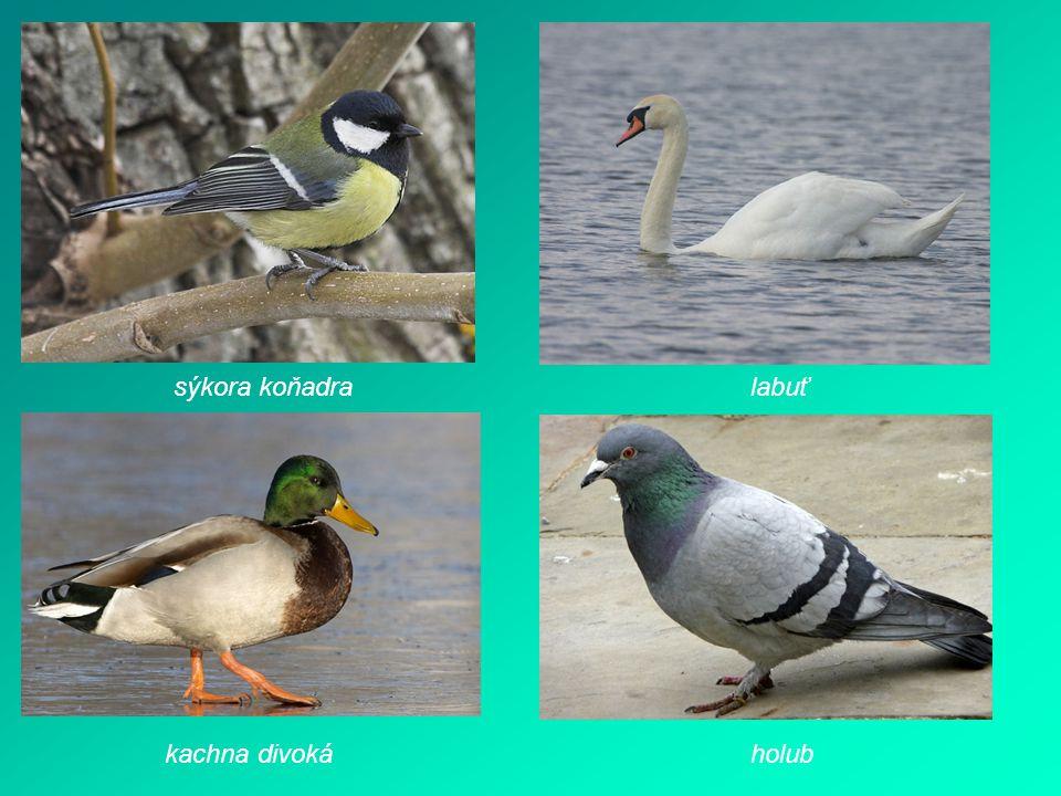 sýkora koňadra labuť kachna divoká holub