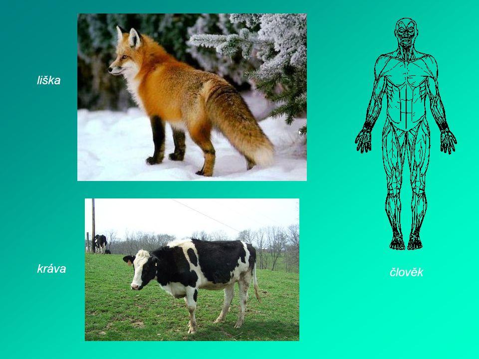 liška kráva člověk