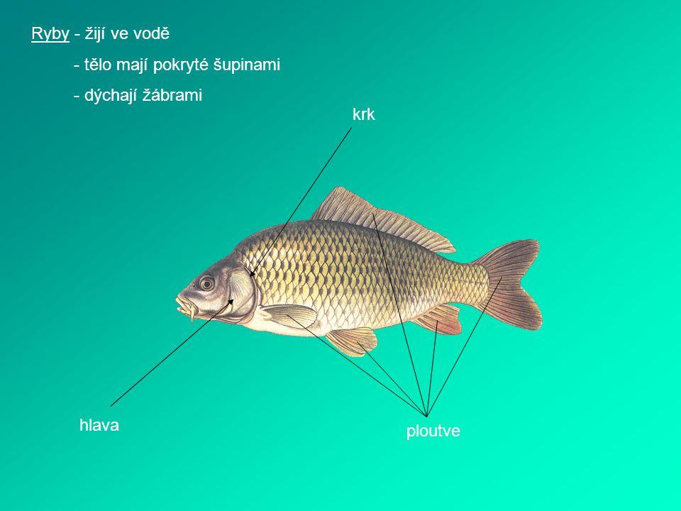 Ryby - žijí ve vodě - tělo mají pokryté šupinami - dýchají žábrami krk hlava ploutve