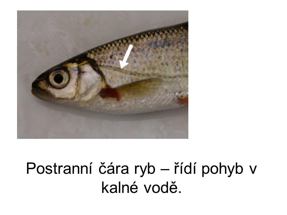 Postranní čára ryb – řídí pohyb v kalné vodě.