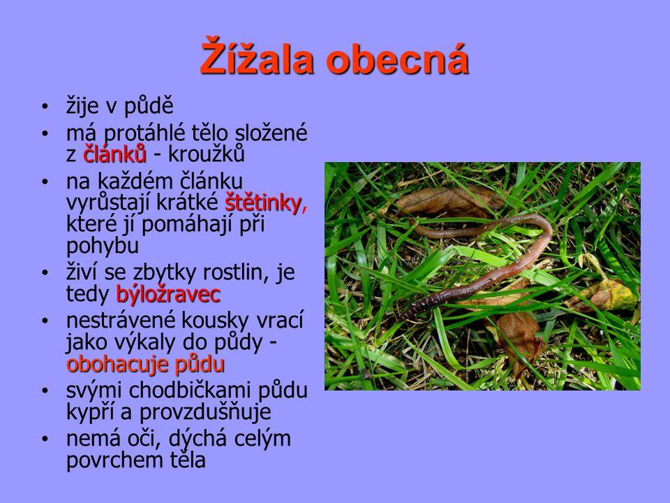 Žížala obecná žije v půdě má protáhlé tělo složené z článků - kroužků