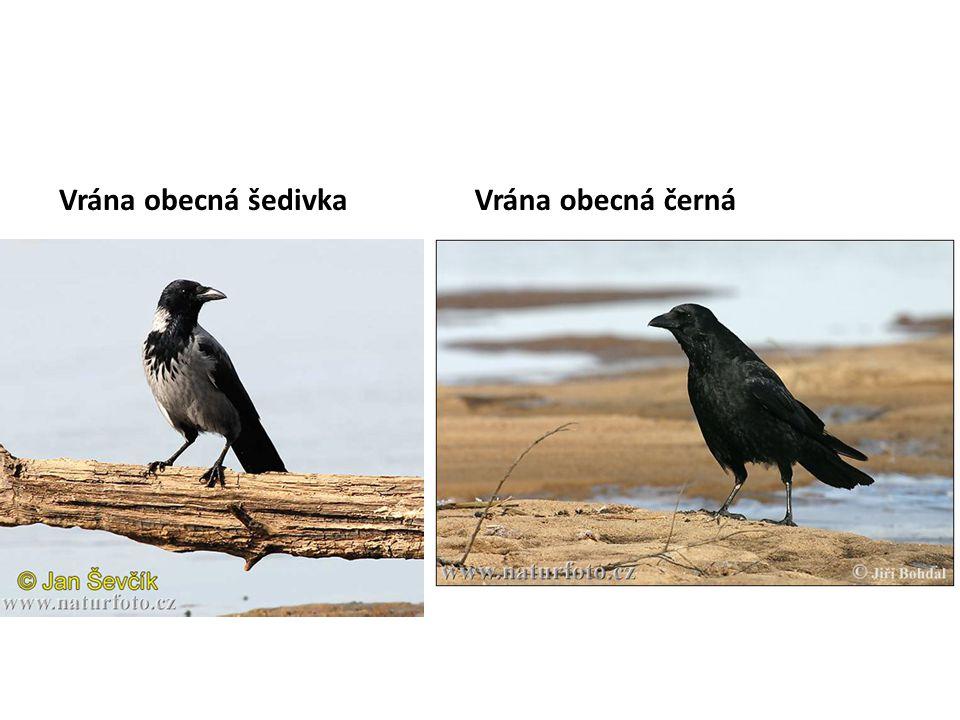 Vrána obecná šedivka Vrána obecná černá