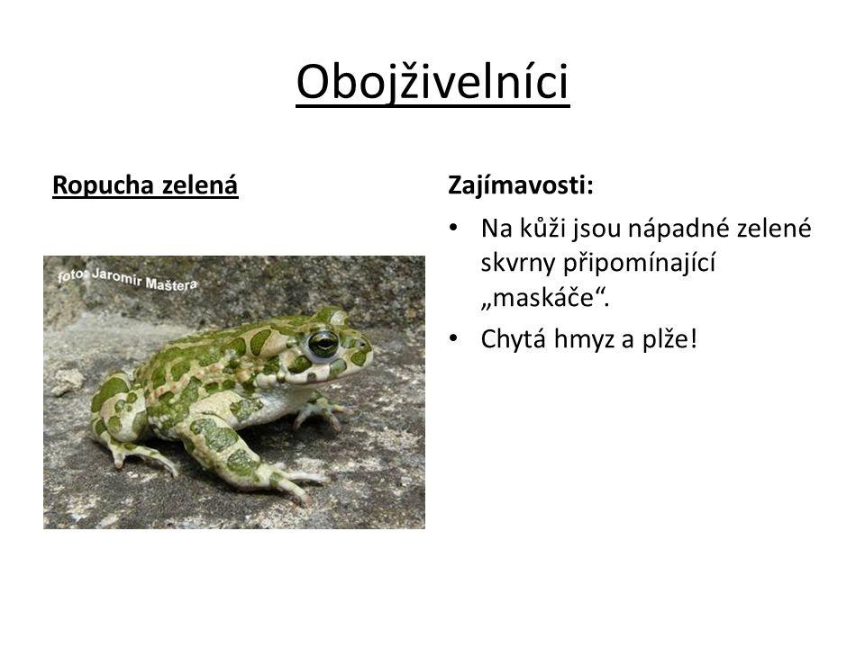 Obojživelníci Ropucha zelená Zajímavosti: