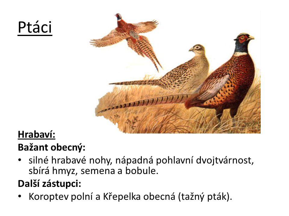 Ptáci Hrabaví: Bažant obecný: