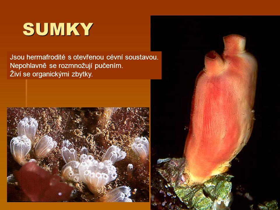 SUMKY Jsou hermafrodité s otevřenou cévní soustavou.