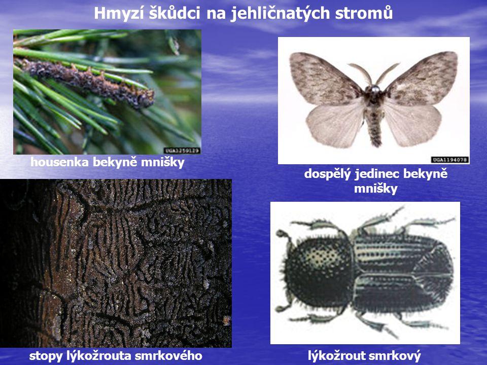 Hmyzí škůdci na jehličnatých stromů