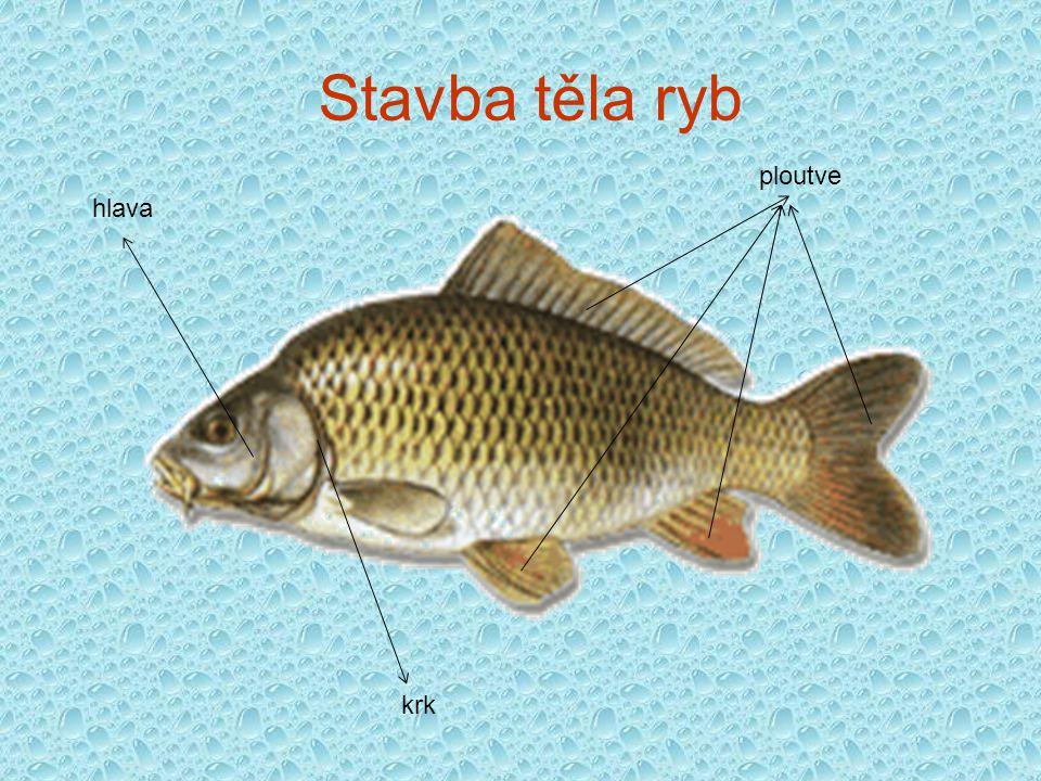 Stavba těla ryb ploutve hlava krk