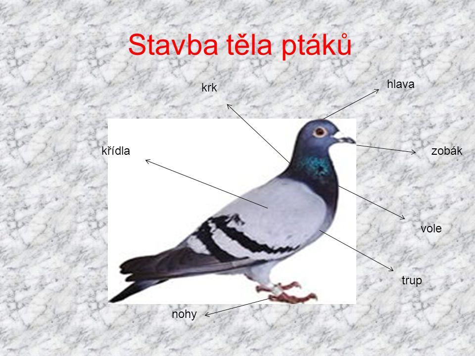 Stavba těla ptáků hlava krk křídla zobák vole trup nohy