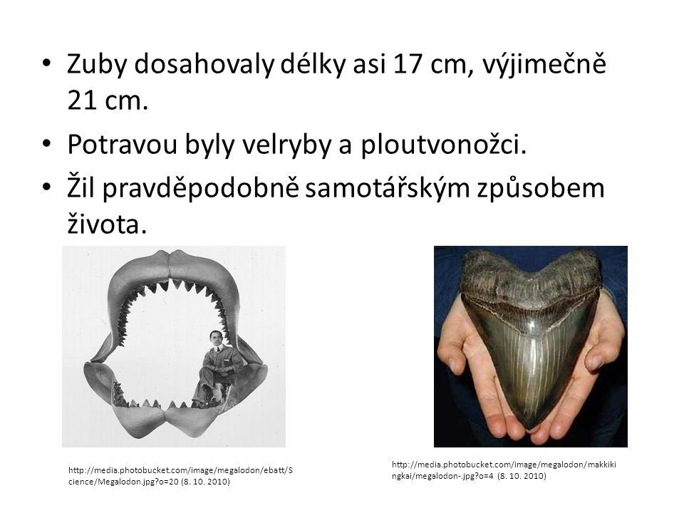 Zuby dosahovaly délky asi 17 cm, výjimečně 21 cm.