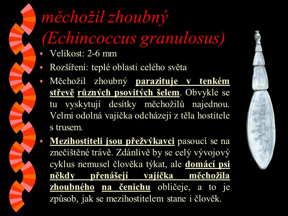 měchožil zhoubný (Echincoccus granulosus)
