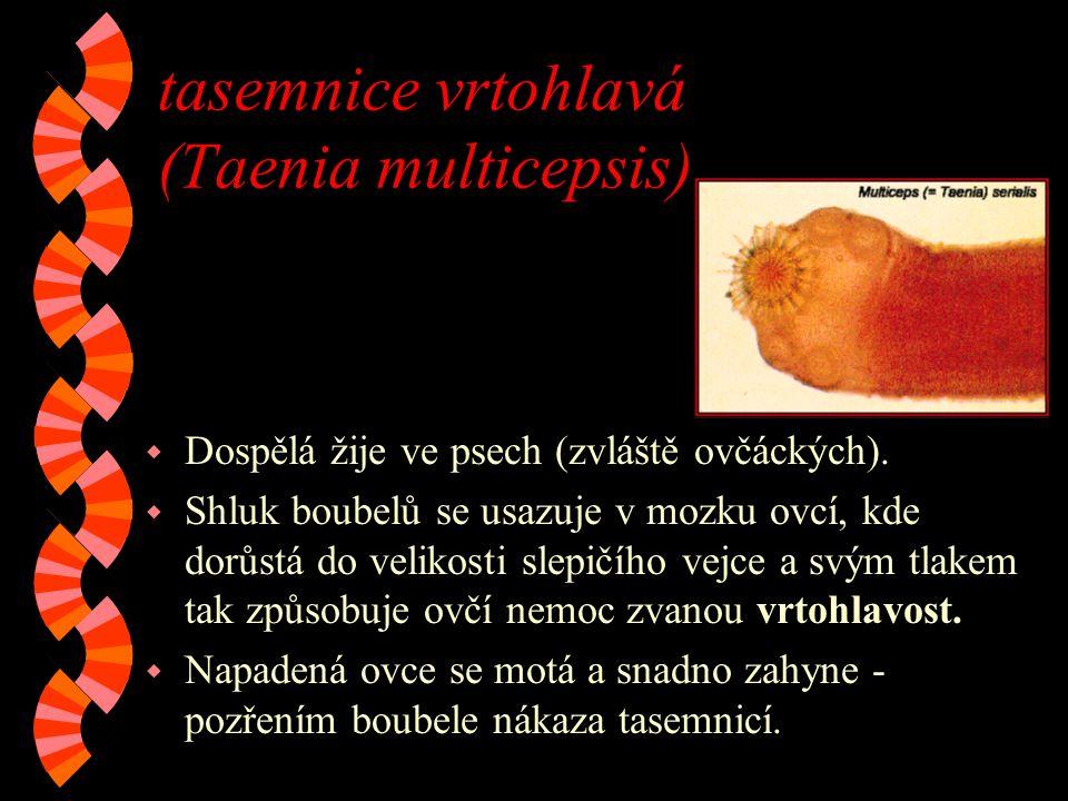 tasemnice vrtohlavá (Taenia multicepsis)