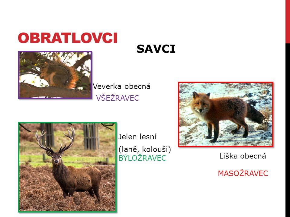 obratlovci SAVCI Veverka obecná VŠEŽRAVEC Jelen lesní (laně, kolouši)