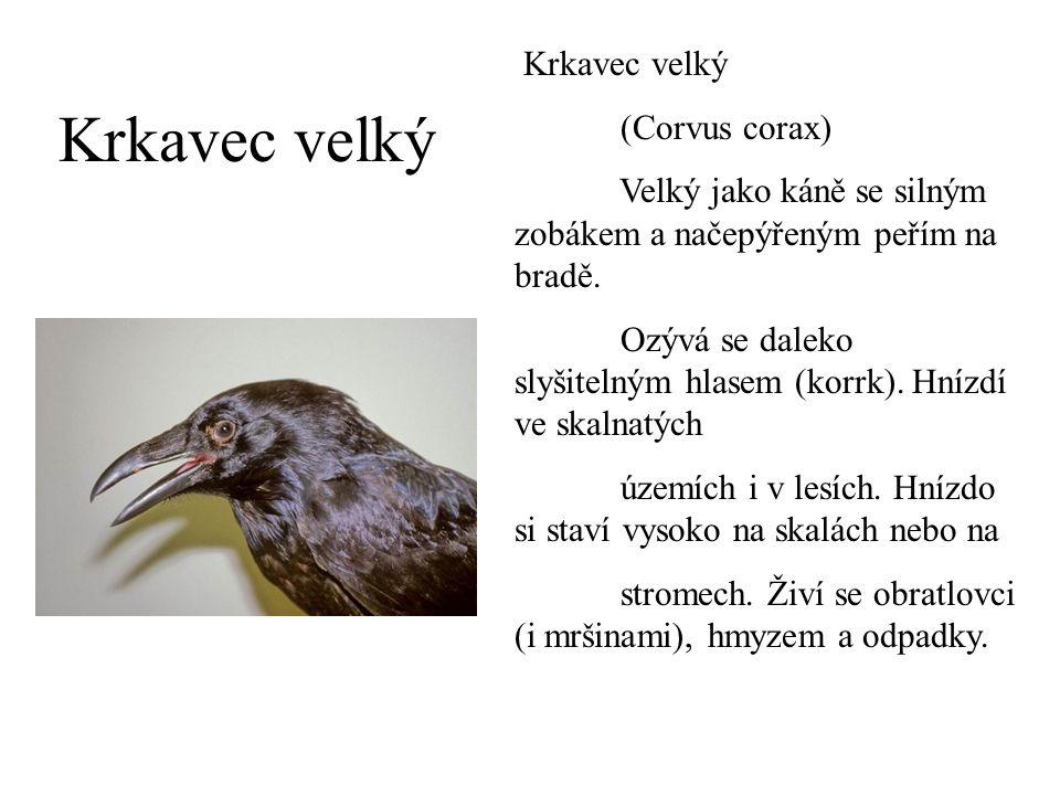 Krkavec velký Krkavec velký (Corvus corax)