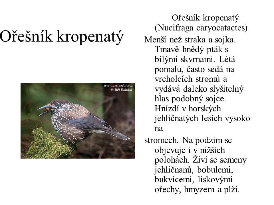 Ořešník kropenatý Ořešník kropenatý (Nucifraga caryocatactes)