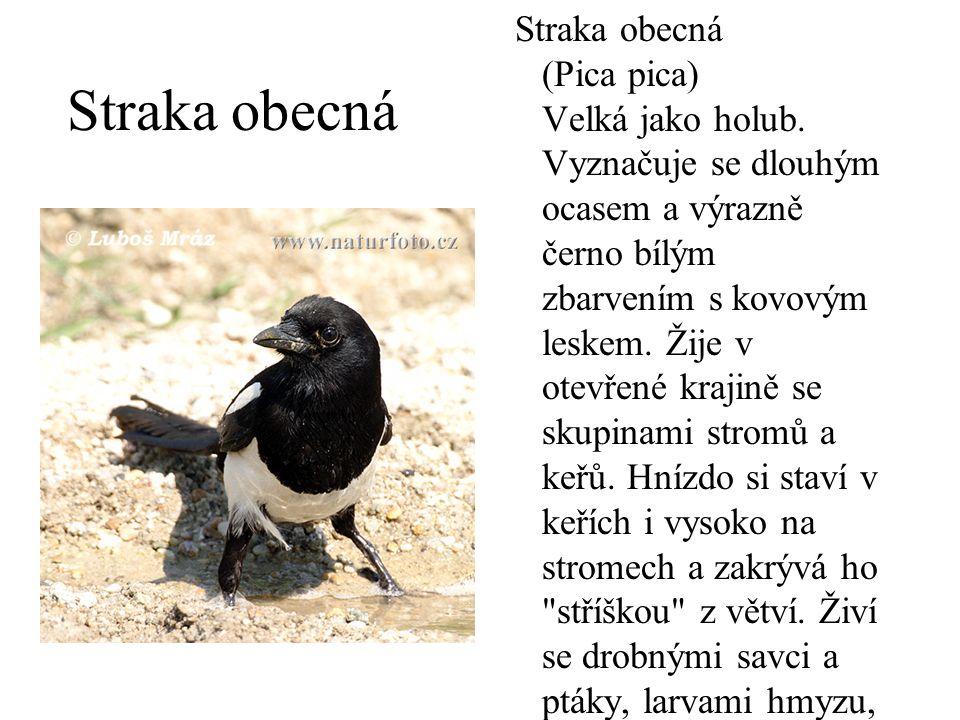 Straka obecná (Pica pica) Velká jako holub