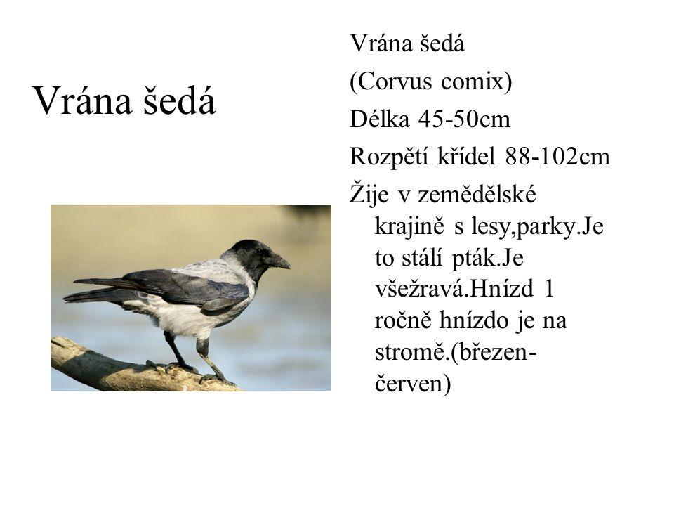 Vrána šedá Vrána šedá (Corvus comix) Délka 45-50cm