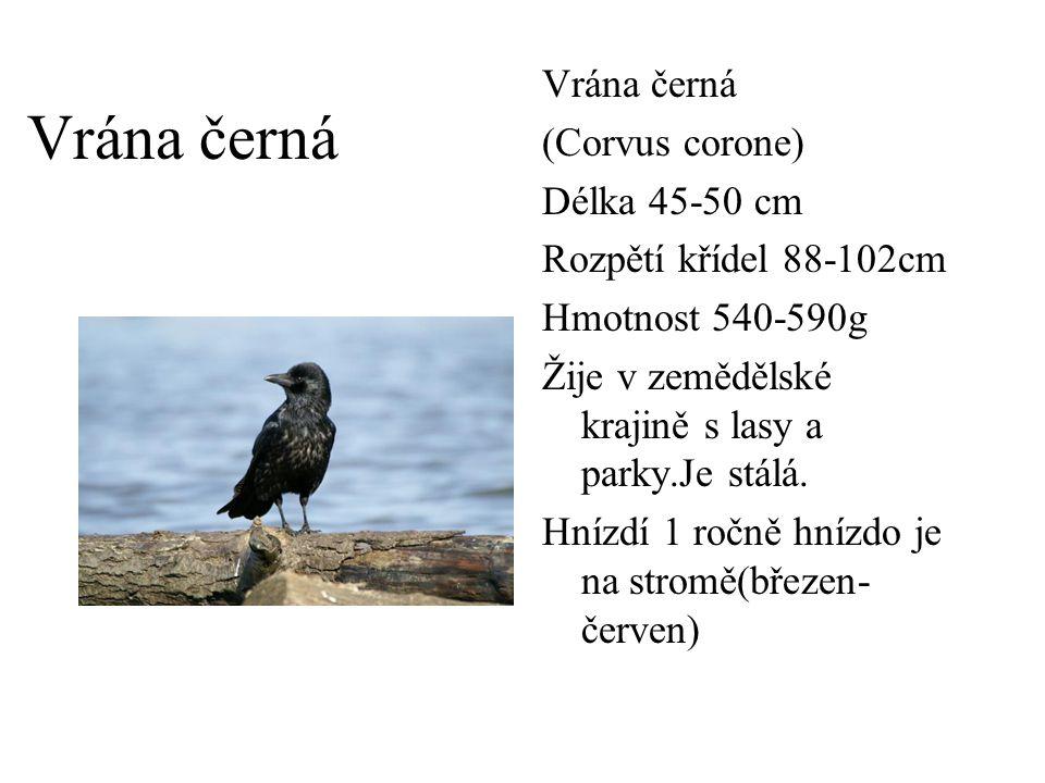 Vrána černá Vrána černá (Corvus corone) Délka 45-50 cm