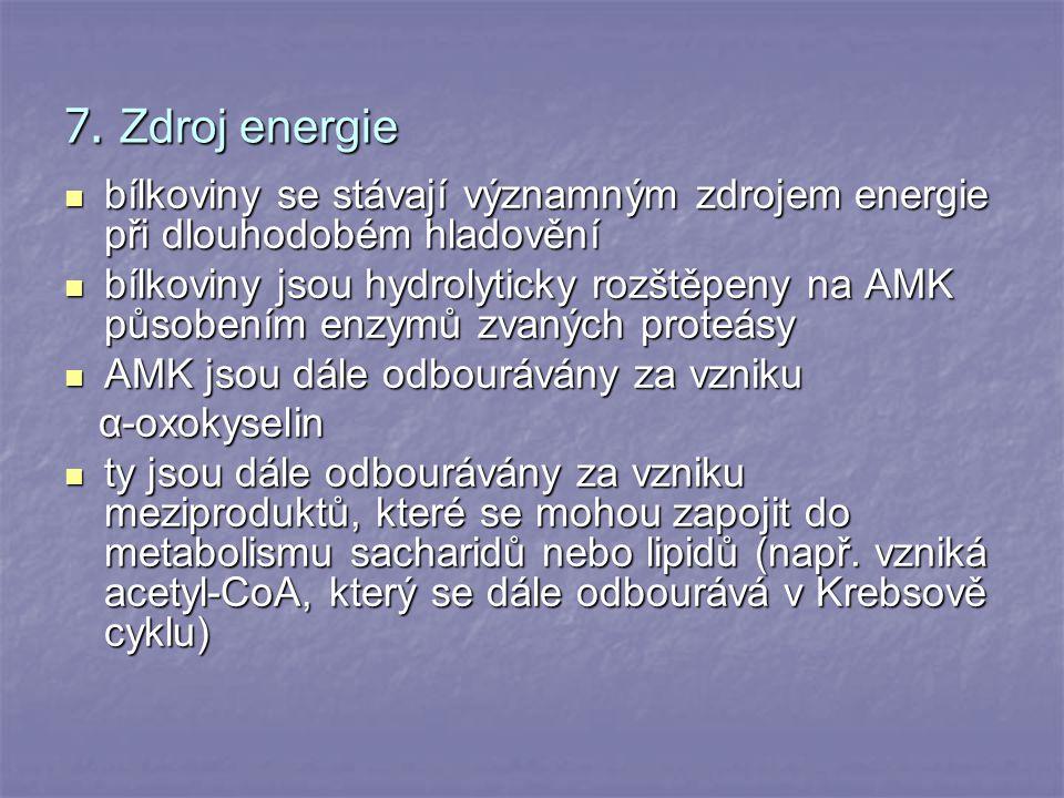7. Zdroj energie bílkoviny se stávají významným zdrojem energie při dlouhodobém hladovění.