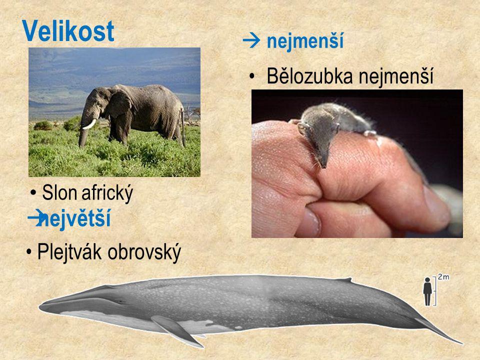 Velikost největší Bělozubka nejmenší Plejtvák obrovský  nejmenší