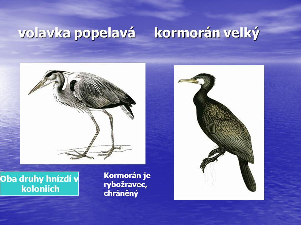 volavka popelavá kormorán velký