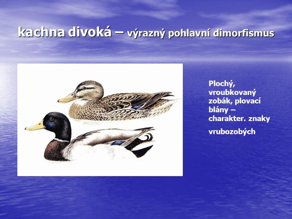 kachna divoká – výrazný pohlavní dimorfismus