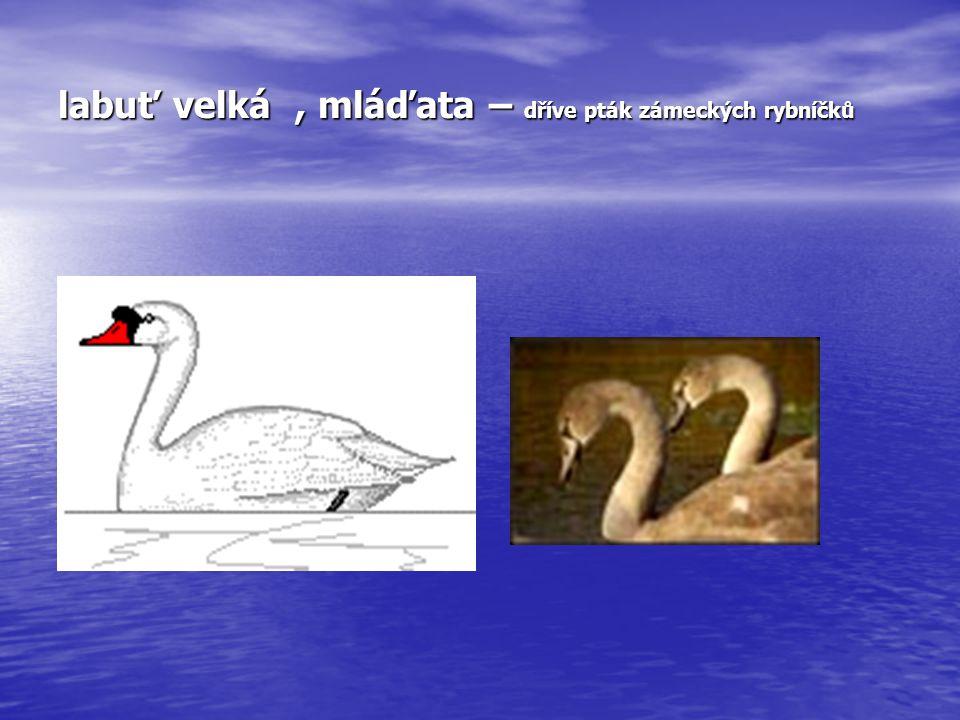 labuť velká , mláďata – dříve pták zámeckých rybníčků
