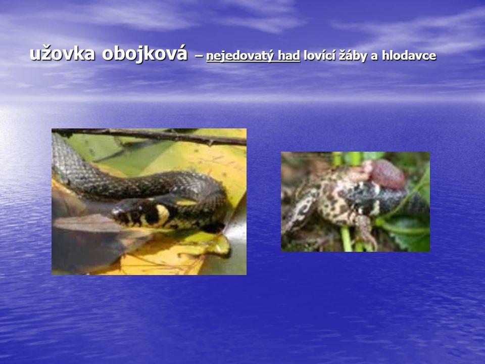 užovka obojková – nejedovatý had lovící žáby a hlodavce