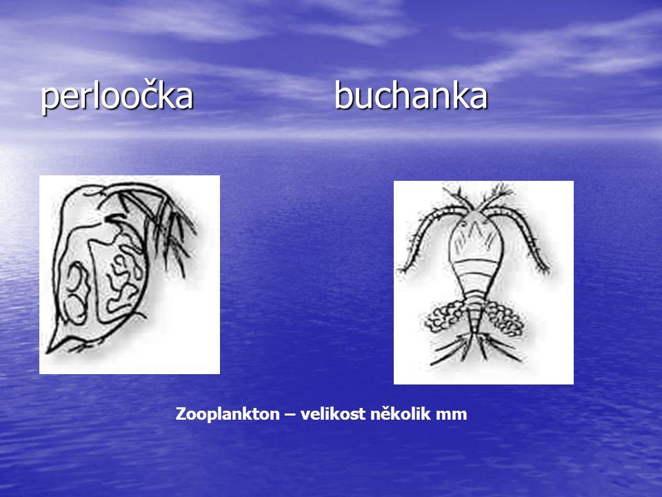 perloočka buchanka Zooplankton – velikost několik mm