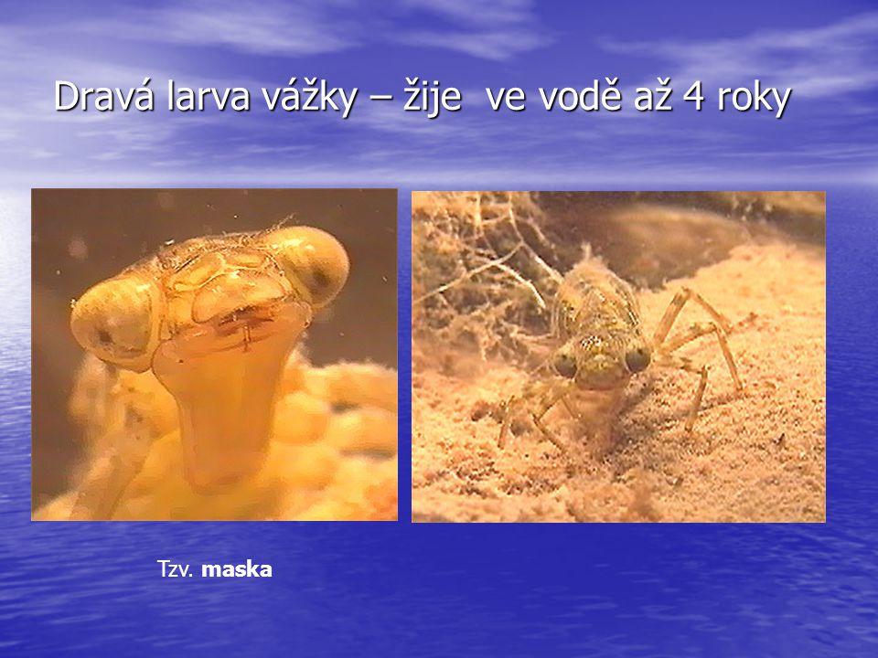 Dravá larva vážky – žije ve vodě až 4 roky