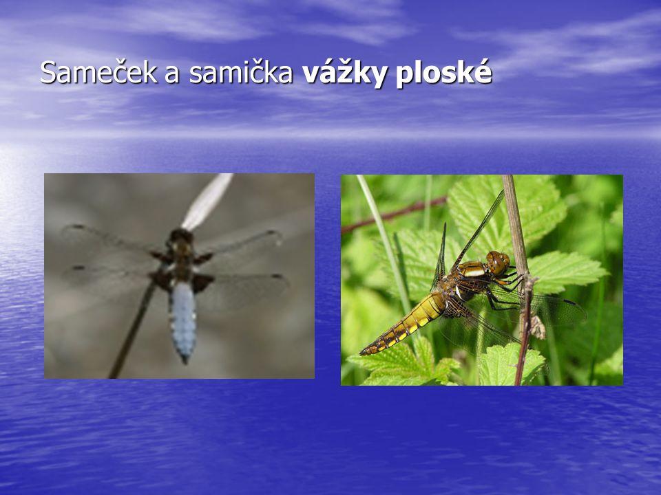 Sameček a samička vážky ploské