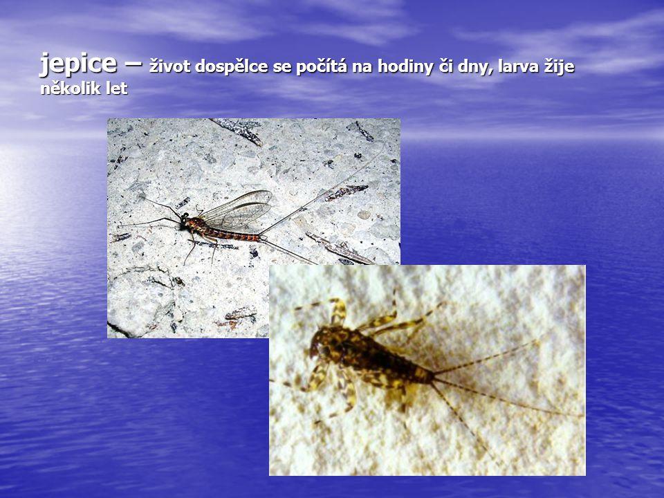 jepice – život dospělce se počítá na hodiny či dny, larva žije několik let