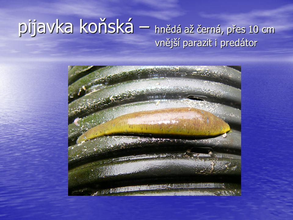 pijavka koňská – hnědá až černá, přes 10 cm vnější parazit i predátor