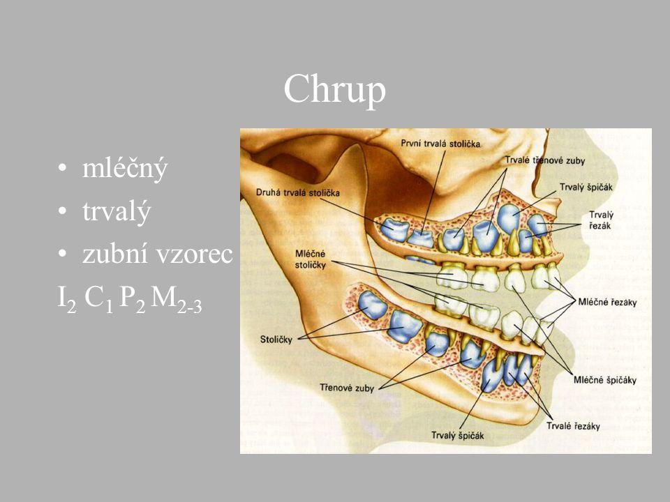Chrup mléčný trvalý zubní vzorec I2 C1 P2 M2-3