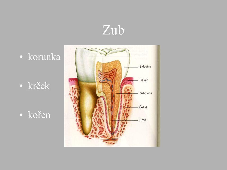 Zub korunka krček kořen