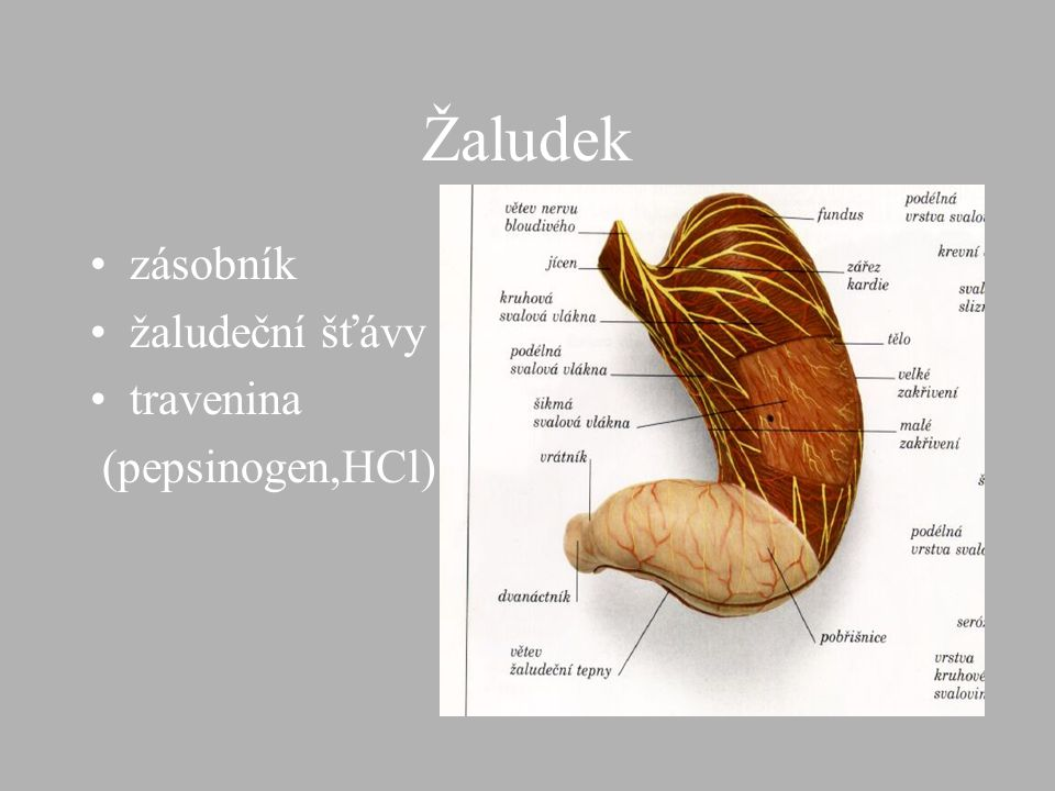 Žaludek zásobník žaludeční šťávy travenina (pepsinogen,HCl)
